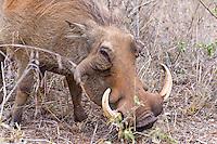 Warthog w large tushes, Hluhluwe-Umfolozi NP, SA
