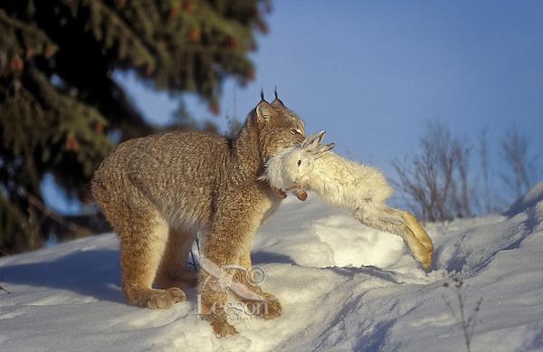 Lynx track afc lick