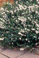 Winter Heath Erica carnea 'Springwood White' in white flowers showing plant habit