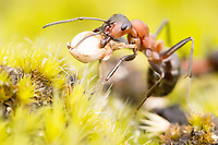 Wood ant (Formica rufa) carrying heather seed. Arne, Dorset, UK. Worker ants return from foraging with food items and building materials for nest repairs.