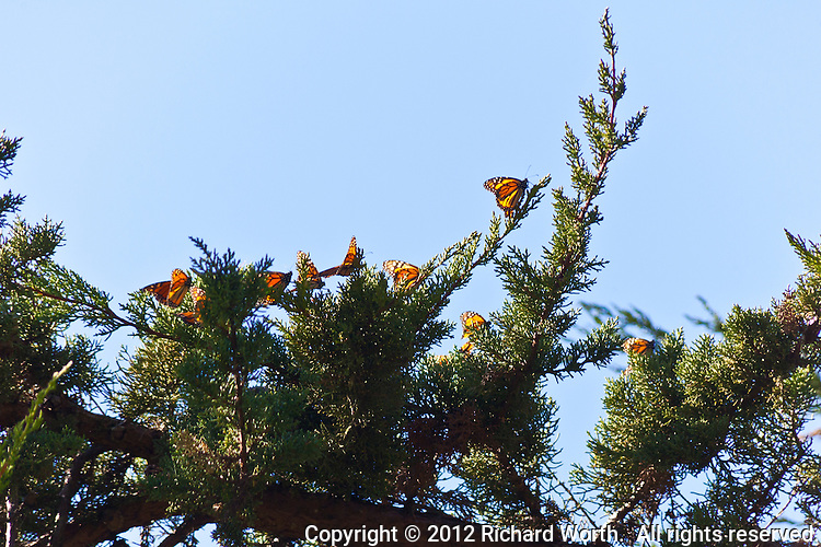 By midmorning monarch butterfiles have left their clusters and landed on Monterey cypress tree branches at Lighthouse Field State Park in Santa Cruz, California.