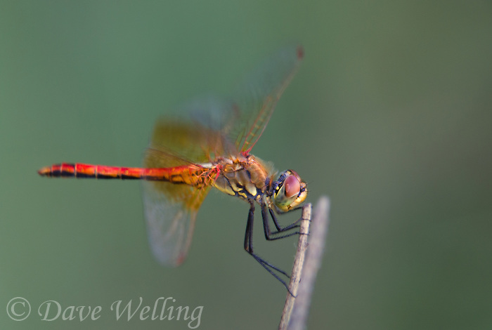 362700011 a wild male band-winged meadowhawk sympetrum semicintum perches on a plant stem near jean blanc canal north of bishop inyo county california united states