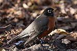An American Robin near Lake Nokomis