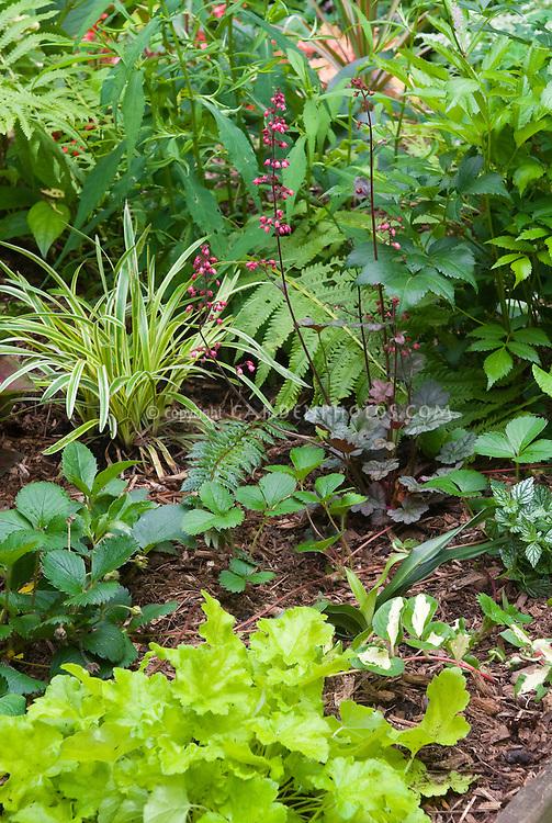 Groundcovers for Shade Garden: Lirope muscari Variegata, Heuchera Key Lime, Heucher Steel City in bloom, Fragaria strawberry ground cover, Vinca Wojo's Gem, fern, Rhodea japonica, Lamium galeobodon, ferns