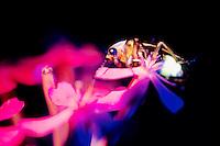 FIREFLIES (LIGHTNING BUGS)<br /> Pyralis Firefly Under UV Light<br /> The glow of a firefly flouresces under ultraviolet light