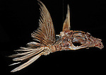 Orchid Island, Taiwan -- Skeleton of a flying fish.