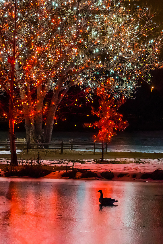 Geese Floating On Water In Lake A Hudson Christmas Holiday Light Show At Hudson Gardens
