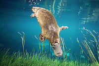 Platypus diving (Ornithorhynchus anatinus),  Tasmania, Australia.  Digital composite