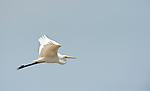 Great White Egret, Egretta alba, Lesvos Island, Greece, common winter visitor, in flight, flying , lesbos