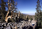 Bristlecone pine trees at Great Basin NP