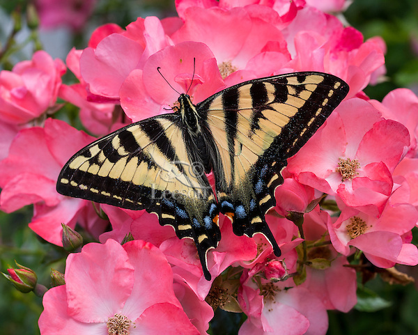 Western Tiger Swallowtail Butterfly (Papilio rutulus) on rose blossoms.<br /> Pacific Northwest.  Summer.