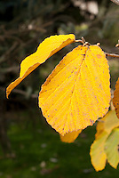 Hamamelis mollis Pallida' (AGM) in autumn fall foliage color witch hazel