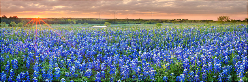 I had to drive a long way to find even a small field of bluebonnets this spring of 2013. While even this field was not comparable to bluebonet fields in past years, it was still a pretty welcome sight. ..I scouted out this area and visited this location several mornings hoping for the best light. This bluebonnet picture is two images stictched together - to make it a bluebonnet panorama - to show the wide ranging field as the sun peeked over the distant horizon...Our favorite Texas Wildflowers were not readily apparent this year. Hopefully our bluebonnets will return next spring with more fall rains.