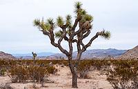 United States, California, Joshua Tree National Park. Jumbo Rocks. A Joshua tree.