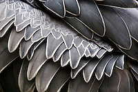 Shoebill feathers make an abstract pattern of grey and white.