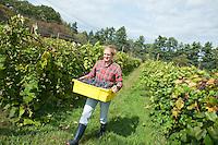 20100921 Grape Harvesting at UVM Horticulture Farm