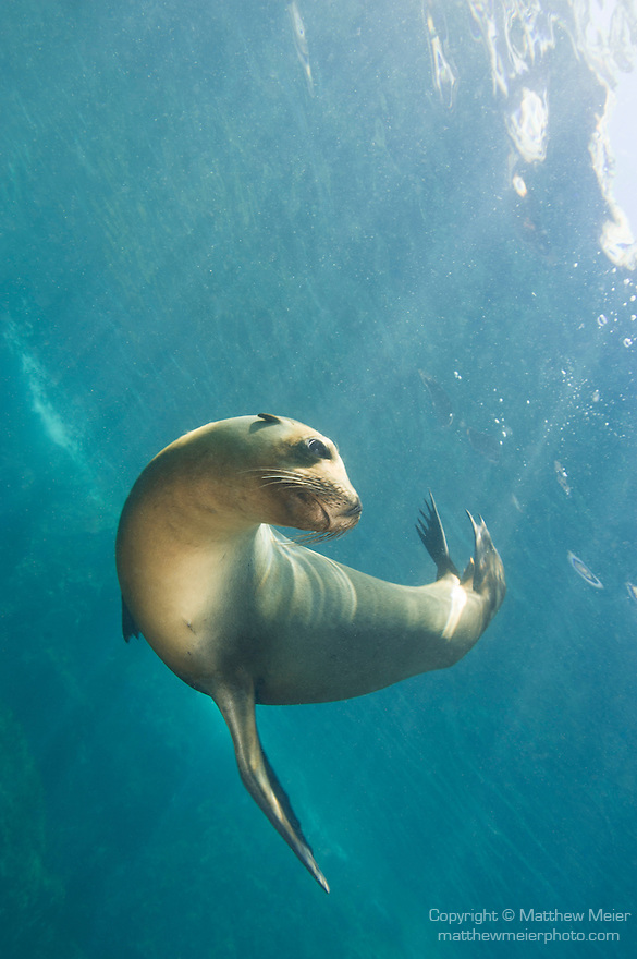 Sea of Cortez, Baja California, Mexico; a California Sea Lion (Zalophus californianus) just below the water's surface, with sun rays streaming in from above