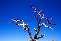 A dead tree in King's Canyon, Northern Territory, Australia, on January 1, 2009. Photo by Lucas Schifres/Pictobank