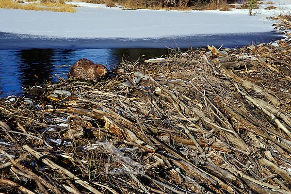 Beaver (Castor canadensis) working on dam.  Late fall.  Western U.S.