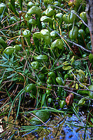 These plants thrive in bogs, marshes and seeps, preferrably with running water.  These are in the Darlingtonia Bog at the Butterfly Valley Botanical Area in Plumas National Forest, California.