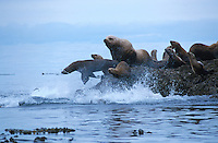 Sea Lions, .Queen Charlotte Islands,.British Columbia, Canada