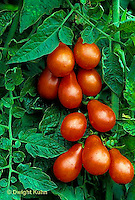 HS09-263x  Tomato - red pear variety