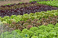 Lettuce variety types growing in vegetable garden together: Lettuce (l>r): 'Chatsworth', 'Nymans', 'Dunrobin', 'Recoba', 'Exbury', 'Rosemoor', 'Freckles', 'Mottisone', 'Minterne', 'Romany', red and green lettuces