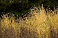Mexican feather grass (Nassella tenuissima) ornamental grass in autumn garden