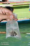 Pecheur pr&eacute;sentant des poissons emball&eacute;s pour l'aquariophilie<br /> <br /> Poisson cardinal des iles Banggais, Pterapogon kauderni. End&eacute;mique des &Icirc;les Banggais, ce poisson poss&egrave;de une aire de r&eacute;partition tr&egrave;s limit&eacute;e pour un poisson marin. Depuis quelques ann&eacute;es, il subit une forte pression de la p&ecirc;che pour le commerce de l'aquariophilie (plusieurs milliers de poissons sont captur&eacute;s chaque mois) ce qui a conduit cette esp&egrave;ce en 2007 a &ecirc;tre class&eacute;e dans la cat&eacute;gorie Endangered sur la liste rouge de l'UICN. village de Bonebaru sur l'ile Banggai dans les Sulawesis en Indon&eacute;sie - Mission Banggai Cardinal Fish, Mai 2008, Act for Nature - Musee oceanographique de Monaco