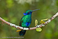 Sparkling Violetear (Colibri coruscans), montane rainforest or cloud forest, Utcubamba Valley, northern Peru.