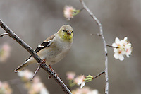 American Finch in early March, Central Texas. Flowering Dogwood Trees are the fist signs of Spring here..