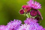 """A cricket climbs an ageratum houstonianum (""""Red Sea"""" ageratum) in the 50-acre expanse of Brookside Gardens in Silver Spring, Maryland."""
