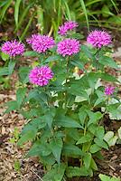 Dwarf Beebalm Monarda Petite Delight in lavender rose flowers
