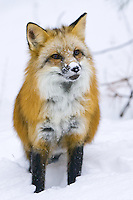 Red Fox standing in the snow - CA