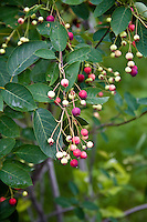Edible berries of the Serviceberry or Shadbush (Amelanchier), a small tree native to eastern North America and a close relative of the Saskatoon berry bush.