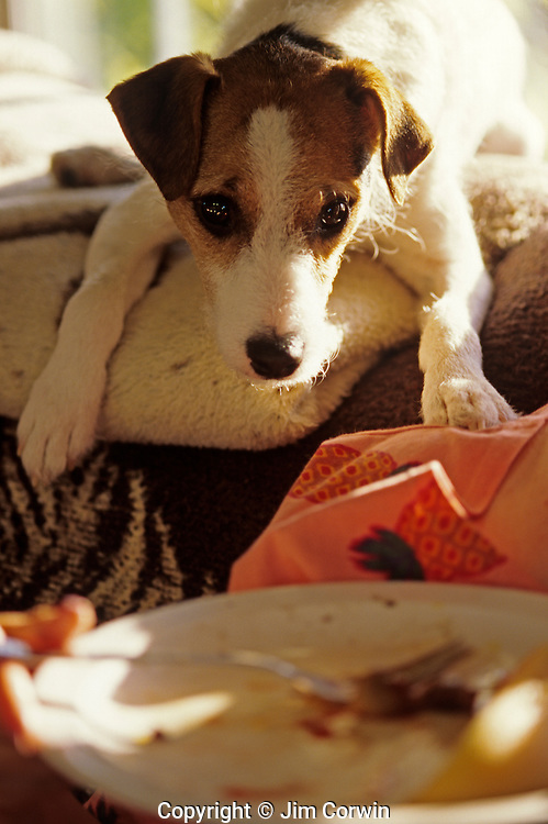 Jack Russell Terrier on couch alertly looking at food on a plate with cute expression on face waiting for treats .
