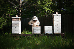 Beekeeper in Alexander Arkansas harvesting honey from his rural beehive boxes.