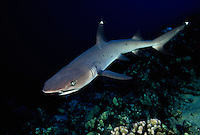 A lone whitetip reef shark,  Triaenodon obesus, cruises over the reef.  Hawaii.
