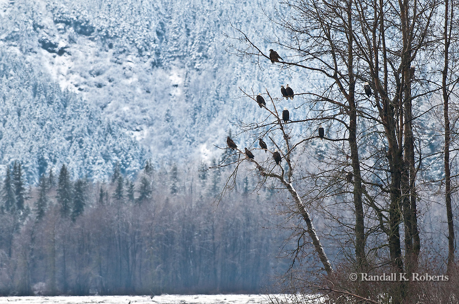 Bald Eagles, mature and immature, gather for last salmon run of the season, Chilkat Bald Eagle Preserve, Haines, Alaska
