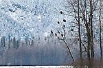Bald Eagles, mature and immature, gather for last salmon run of the season, Chilkat Bald Eagle Preserve, Haines, Alaska