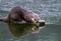 Otters are active year round and have no trouble catching a fish and then climbing out on the ice to enjoy a meal!