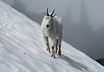 Mountain goat walks across a glacier, Olympic National Park, Washington, USA