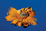 A yellow cut flower floats partially submerged in water.  Petals of the flower curl inward from age.