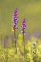 Fragrant Orchids (Gymnadenia conopsea) Nordtirol, Austrian Alps, Austria, July.