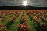 Fall colors in old-style petit sirah vineyard in St. Helena