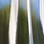 #4 Aspens, Summer #1 Motion