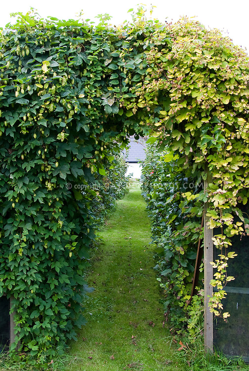 Show me your decorative hops garden. - Home Brew Forums