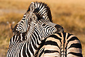 Botswana, Okavango Delta, Moremi Game Reserve, Burchell's zebras (Equus burchellii) mother and foal cuddling late afternoon