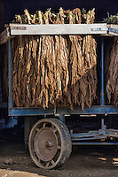 Tobacco leaves drying in an Amish barn,  Ronks, Lancaster County, Pennsylvania, USA