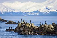 Cormorants sun themselves on a rock in Prince William Sound, Alaska